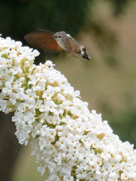 Hummingbird Hawk Moth on Buddleia